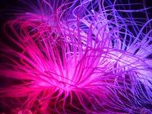 Anemone di mare Fotografie Stock
