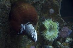 Anemone di mare che mangia l'acquario di Seattle del pesce Fotografie Stock