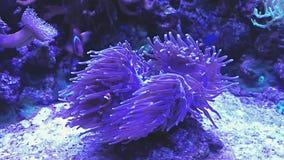Anemone di mare, pesce del pagliaccio Acquario marino in pieno dei pesci e delle piante tropicali stock footage