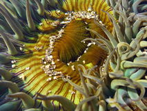 Anemone e areia de Sola Fotos de Stock Royalty Free