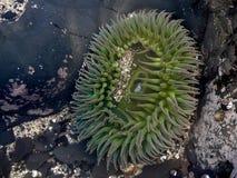 Anemone e areia verdes gigantes Fotos de Stock