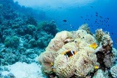 Anemone e clownfish imagens de stock