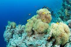 Anemone e clownfish imagem de stock