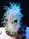 Anemone e peixes Fotografia de Stock Royalty Free