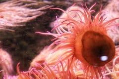 Anemone ed alghe in un acquario fotografia stock