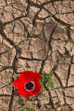 Anemone em um fundo rachado da lama imagens de stock royalty free