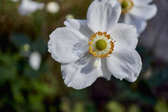 Anemone enjoying the Sunshine Stock Images