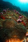 Anemone fire - Andaman Sea Royalty Free Stock Photography