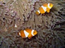 Anemone-Fische Stockbilder