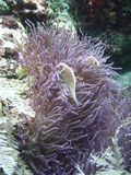 Anemone with fish. Purple anemone and two skunk anemone fish royalty free stock photos