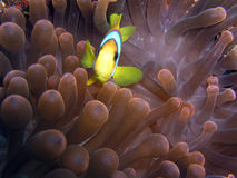 Anemone fish. In Red sea Stock Photography