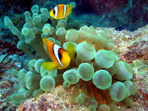 Anemone Fish Royalty Free Stock Photo