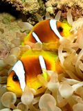 Anemone Fish. Red Sea Anemone Fish ( Amphiprion bicinctus Royalty Free Stock Photography
