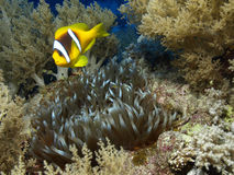 Anemone fish. Yellow anemone fish in the red sea Stock Photo