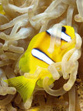 Anemone fish. Yellow anemone fish in the red sea Stock Photos