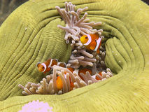 Anemone fish. Clownfish (Anemonefish) in an Anemone Royalty Free Stock Image
