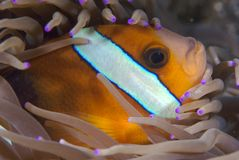 Anemone fish. Closeup of an anenome or clown fish hiding in anemone Stock Images