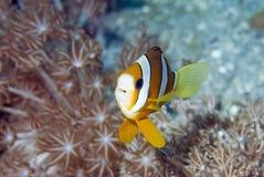 Anemone fish. Clark's anemone fish, Bunaken National park,Manado,North Sulawesi,Indonesia, Southeast asia royalty free stock photos