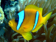 Anemone  fish Stock Image