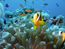 Anemone  fish Stock Images