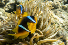 Anemone fish (Amphiprion bicinctus) ) in the background with anemone. Royalty Free Stock Photo