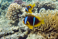 Anemone fish (Amphiprion bicinctus) ) in the background with anemone. Royalty Free Stock Images