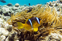 Anemone fish (Amphiprion bicinctus) ) in the background with anemone. Stock Images