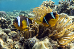 Anemone fish (Amphiprion bicinctus) ) in the background with anemone. Stock Photos