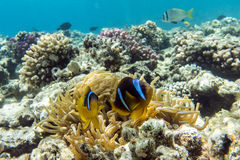 Anemone fish (Amphiprion bicinctus) )in the background with anemone. Royalty Free Stock Images
