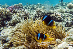 Anemone fish (Amphiprion bicinctus) )in the background with anemone. Anemone fish (Amphiprion bicinctus) ) in the background with anemone.Coral reef Red Sea royalty free stock image