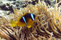 Anemone fish (Amphiprion bicinctus) )with small baby in the background with anemone. Anemone fish (Amphiprion bicinctus) ) in the background with anemone.Coral stock photo