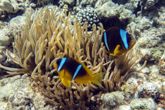 Anemone fish (Amphiprion bicinctus) )with small baby in the background with anemone. Royalty Free Stock Photo