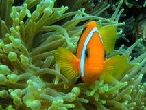 Anemone Fish arancio Fotografie Stock