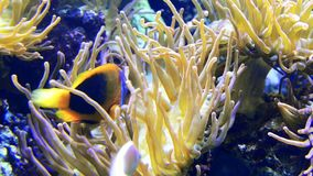 Anemone fish swimming. Anemone fish can be found in the Red Sea, Indian and Pacific Ocean stock footage