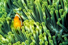 Anemone Fish. Clown fish between the nettle branches of an anemone Stock Photo