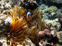 Anemone fish among coral Royalty Free Stock Photos