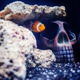 Anemone fish Royalty Free Stock Photo