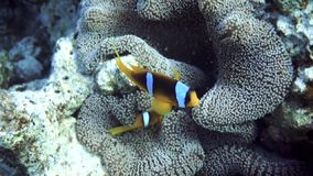 Anemone fish stock video footage