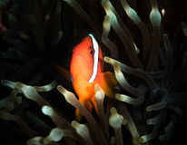 Anemone fish. Finding memo or anemone fish Stock Photos