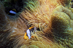 Anemone Fish, great barrier reef, australia. Coral reef in queensland australia Royalty Free Stock Image