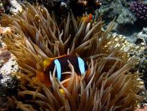 Anemone fish hiding Royalty Free Stock Photos