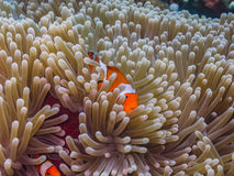 Anemone fish in the hiding place Stock Photo