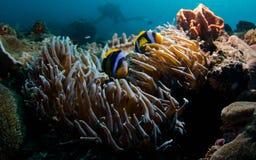 Anemone Fish nascondentesi Fotografia Stock Libera da Diritti
