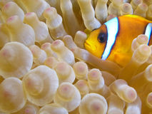 Anemone fish - NEMO. Anemone fish in Amphiprion, Red Sea Stock Images