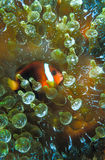 A anemone fish resting in the safety of its anemone home. An anemone fish seeking refuge within its anemone protector Stock Photography