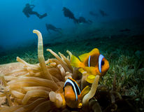 Anemone fish and scuba divers Stock Image