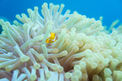Anemone fish. Sea life - Anemone clownfish under the sea Stock Images