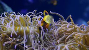 Anemone fish swimming. Anemone fish can be found in the Red Sea, Indian and Pacific Ocean stock video