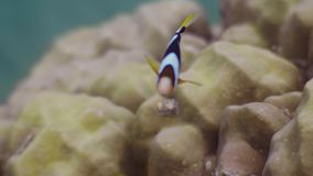 Anemone fish swimming over coral reef on seabed underwater view. Close up clown fish on coral reef background. Wild.  stock video footage
