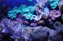Anemonefishes. Anemone-fishes in a aquarium with reeves and corals Stock Photos